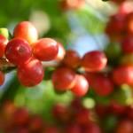 Les cerises de café préfèrent mûrir à l'ombre. Ici de l'arabica du Yunnan.