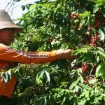 Une ouvrière ramasse les cerises de café à la main au coeur des montagnes du Yunnan.