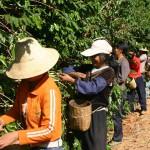 Le ramassage des cerises de café doit se faire à la main pour une qualité optimum.