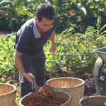 3.一位农夫在收集咖啡豆