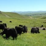 Des yaks dans les pâtures du printemps. Seul le khullu des animaux de deux ans est utilisé pour fabriquer les châles Norlha.