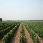 Une vue des vignes de Grace Vineyard dans le Shanxi. La Chine est le second producteur de raisin du monde.
