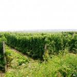 Grace Vineyard produit 1.2 million de bouteilles chaque année de 4 terroirs différents.