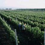 Les vignes plantées en 1997 par le père de Judy Leissner et son associé français dans la province du Shanxi.