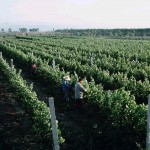 The original vines which were planted in 1997 by Grace Vineyard in Shanxi province.