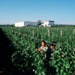 6.在Grace Vineyard, 葡萄都是采用人工采摘。葡萄园后面就是其酿酒厂