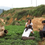 Charlene Wang, Tranquil Tuesdays founder sourcing tea in Anxi, Fujian. Charlene is checking the quality of the next harvest of Iron Goddess of Mercy (Tieguanyin) Oolong tea.