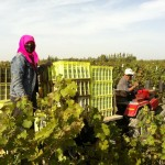 Chinese workers harvest grapes in Ningxia province on the vineyards of the Changyu Pioneer Wines Company to produce Chinese red wine and Chinese white wine.